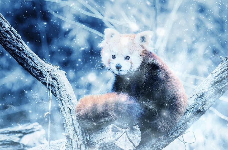 Wallpaper 3d Anime Animal Red Panda Snow 183 Free Image On Pixabay