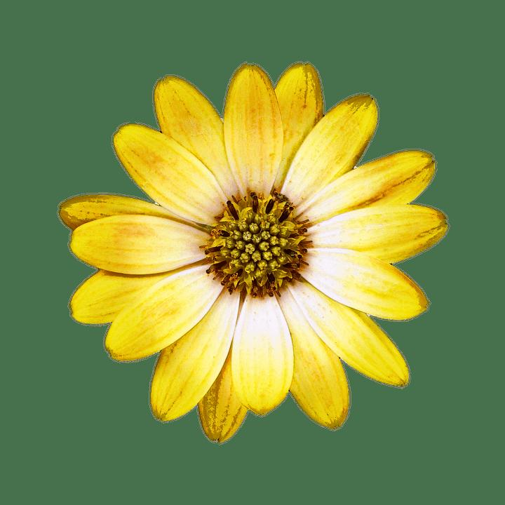 Car Wallpaper Clipart Blossom Bloom Bornholm Marguerite 183 Free Image On Pixabay