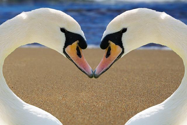 Wallpaper Emoji Cute Free Photo Swan Heart Love Bill Beach Free Image On