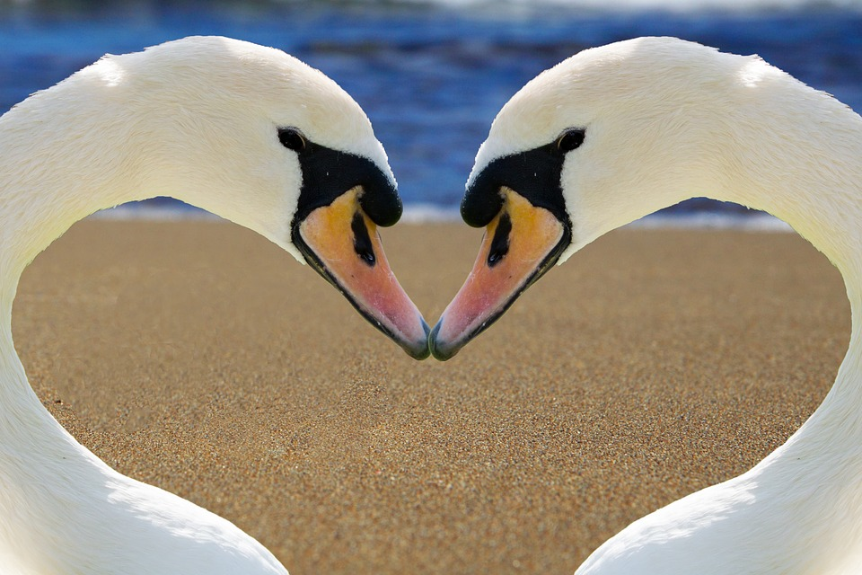Cute Birthday Wallpaper Free Photo Swan Heart Love Bill Beach Free Image On