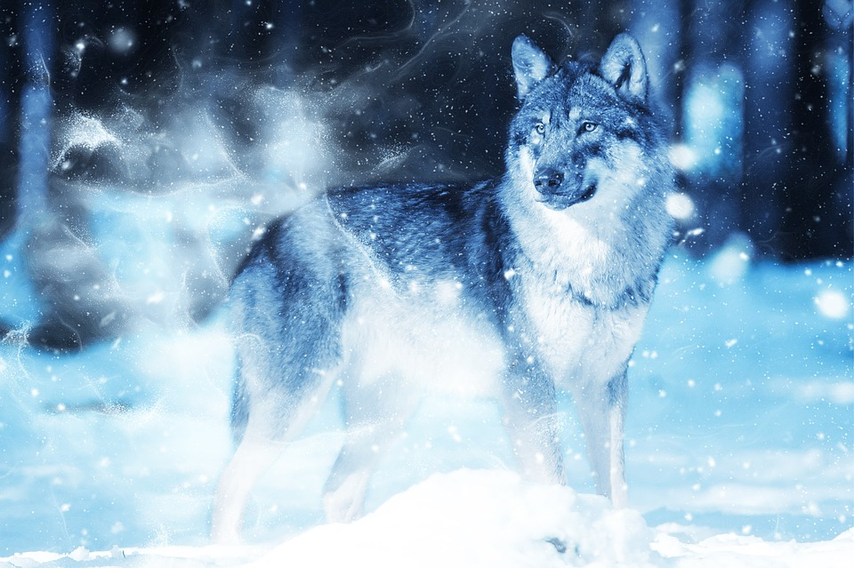 Winter Animal Wallpaper Animal Wolf Snow 183 Free Image On Pixabay