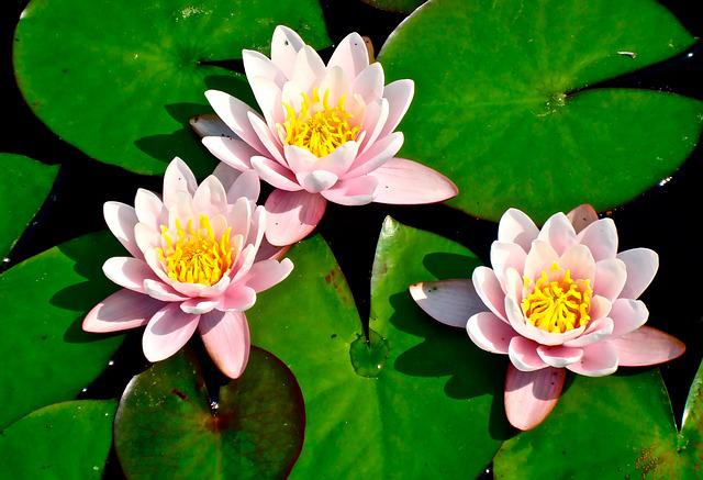 Pink Animal Wallpaper Lily Pad Lilies Flower 183 Free Photo On Pixabay