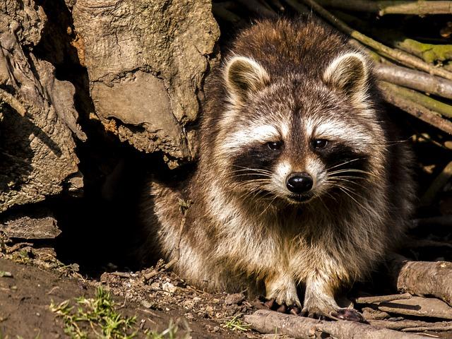 Cute Cartoon Face Wallpaper Free Photo Raccoon Animal Nature Mammal Free Image