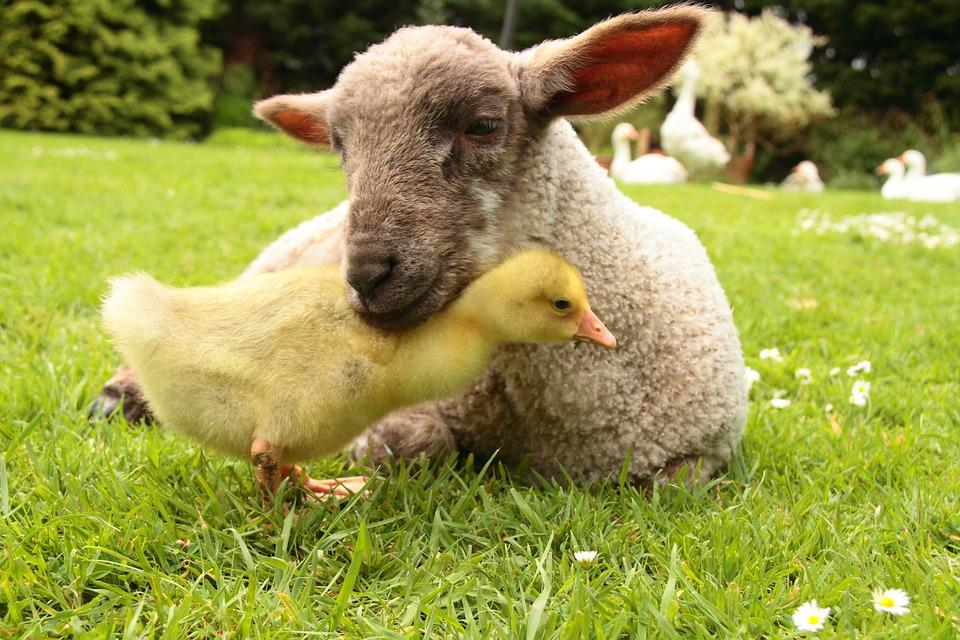 Cute Teddy Pics For Wallpaper Free Photo Lamb Gosling Animal Farm Free Image On