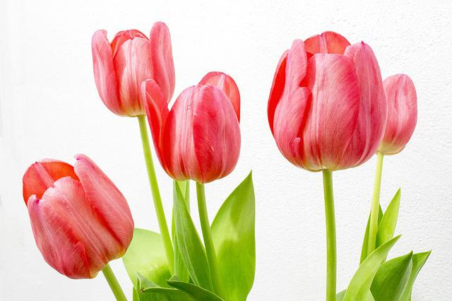 Download Wallpapers Of Beautiful Girls Tulip Flowers Nature 183 Free Photo On Pixabay