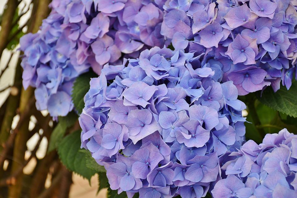 Hydrangeas Flowers Purple - Free photo on Pixabay