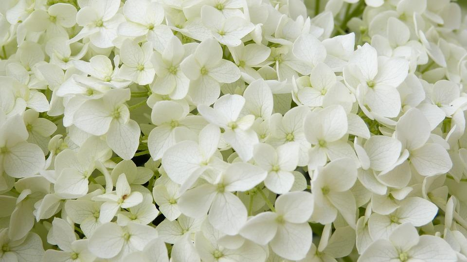 Iphone Wallpaper 3d Free White Flowers Hydrangea Annabelle 183 Free Photo On Pixabay