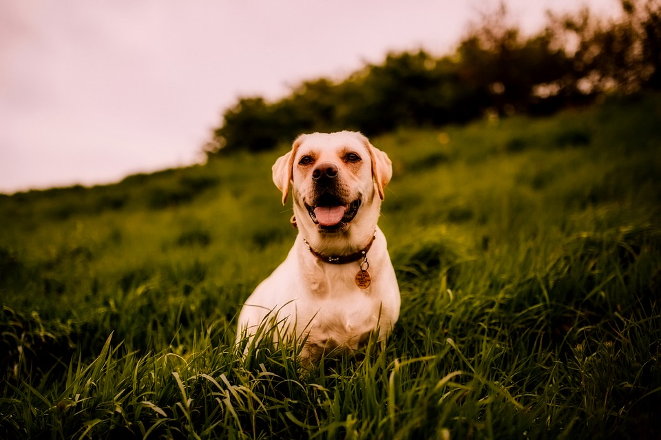 Cute Labrador Puppy Wallpaper Dog Animal Landscape 183 Free Photo On Pixabay