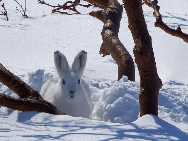 Winter Animal Wallpaper Hare Whitey Animal 183 Free Photo On Pixabay