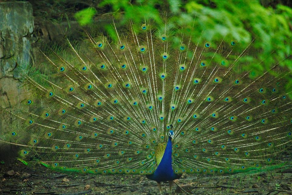 Indian Beautiful Girl Picture Wallpaper Peacock Rain Dancing 183 Free Photo On Pixabay