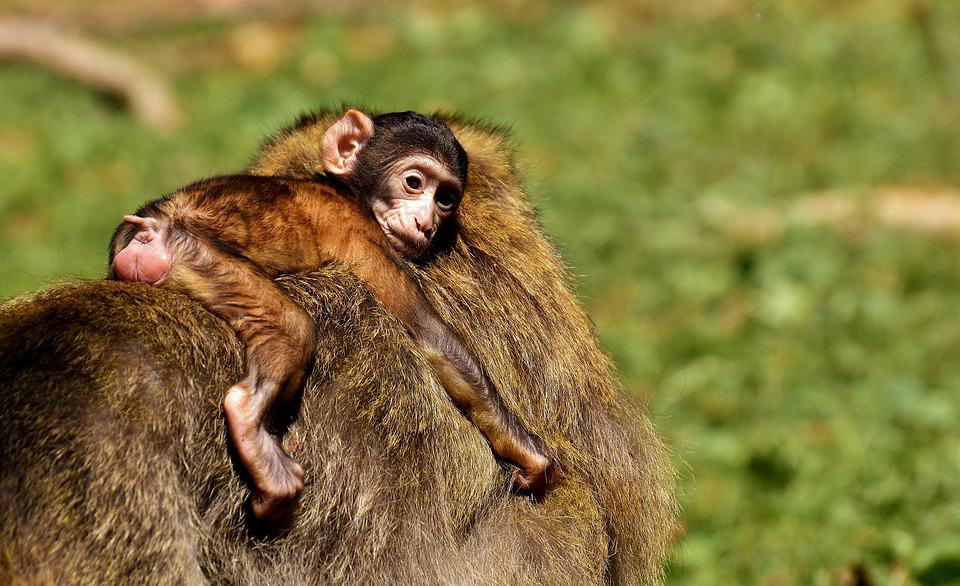 Friends Wallpaper Hd Ape Baby Monkey Barbary 183 Free Photo On Pixabay