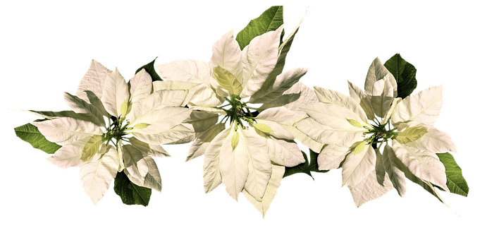 Plant Kerstster Poinsettia Images · Pixabay · Download Free Pictures