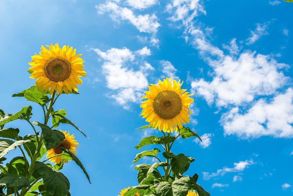 Fall Sunflower Desktop Wallpaper Sunflower Sunny Day Sky Blue 183 Free Photo On Pixabay