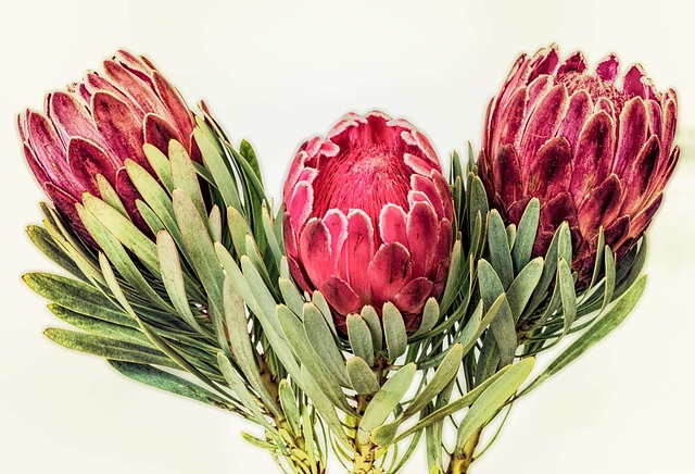 Pink Animal Print Wallpaper Protea South Africa Red 183 Free Photo On Pixabay