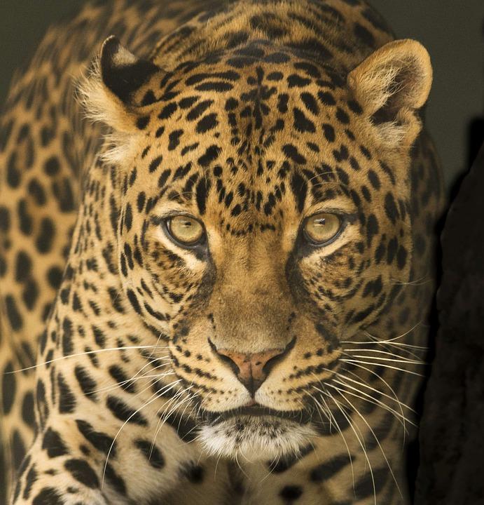 Pantera Animal Wallpaper L 233 Opard Afrique Yeux 183 Photo Gratuite Sur Pixabay