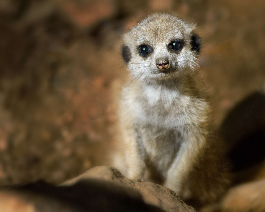Wallpaper Happy Girl Meerkat Young Baby 183 Free Photo On Pixabay