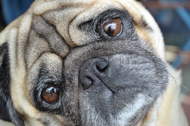 Car Wallpaper Download 2018 Mops Pug Dog 183 Free Photo On Pixabay