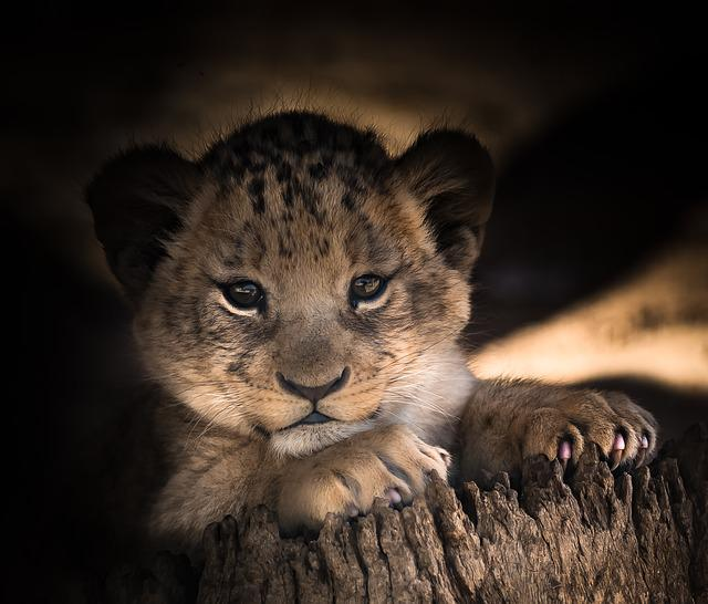 Wallpaper Happy Girl Lion Cub Cute Eyes 183 Free Photo On Pixabay