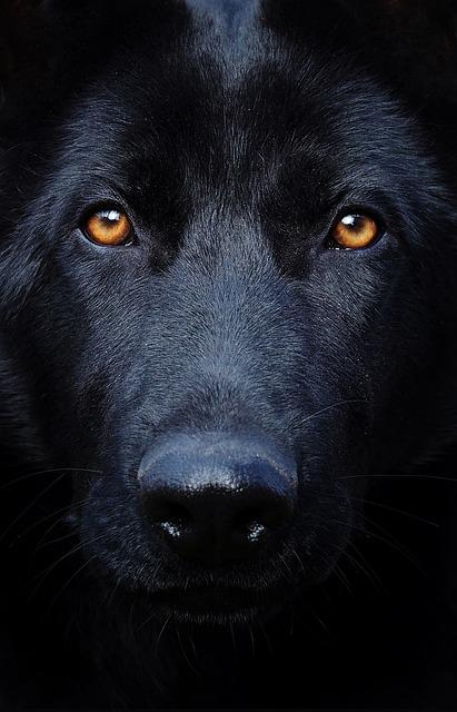 German Girl Wallpaper Black German Shepherd Eyes Dog 183 Free Photo On Pixabay