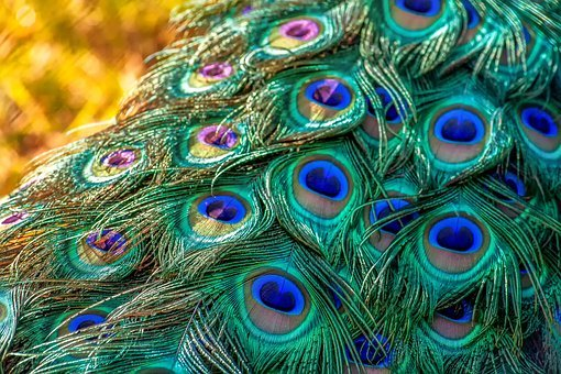Colorful Animal Print Wallpaper Peacock Images 183 Pixabay 183 Download Free Pictures