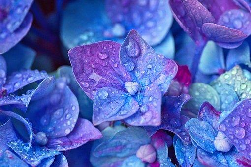 1,000+ Free Hydrangea  Flower Images - Pixabay