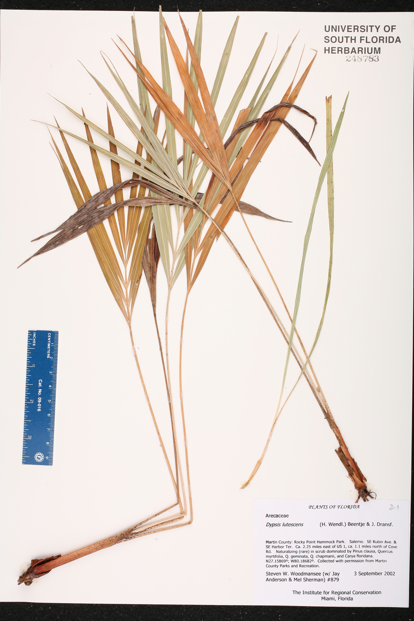 Dypsis Lutescens Species Page Isb Atlas Of Florida Plants Dypsis Lutescens Species Page Isb Atlas Of Florida Plants