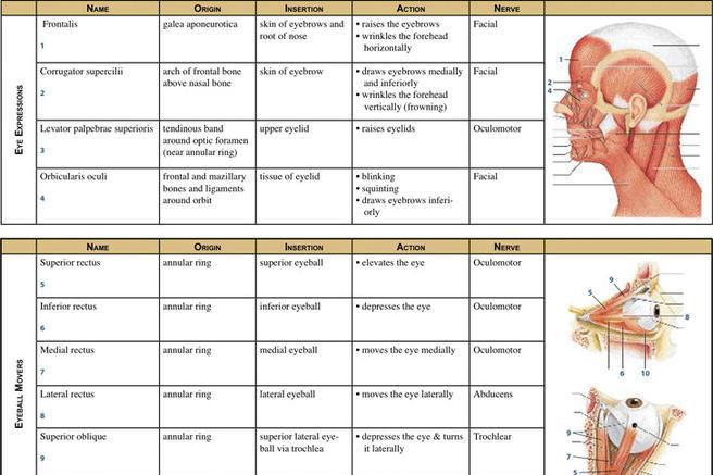 Muscle Chart Template