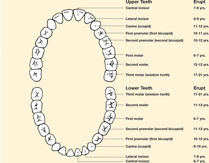 Teeth Chart Download Free  Premium Templates, Forms  Samples for