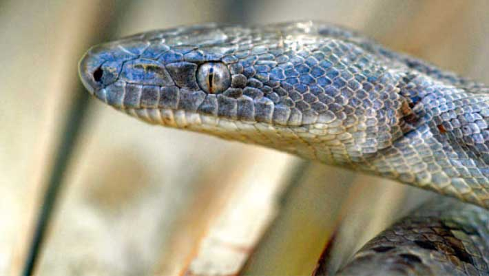 Silver Boa Scientists Discover New Snake Species in Bahamas
