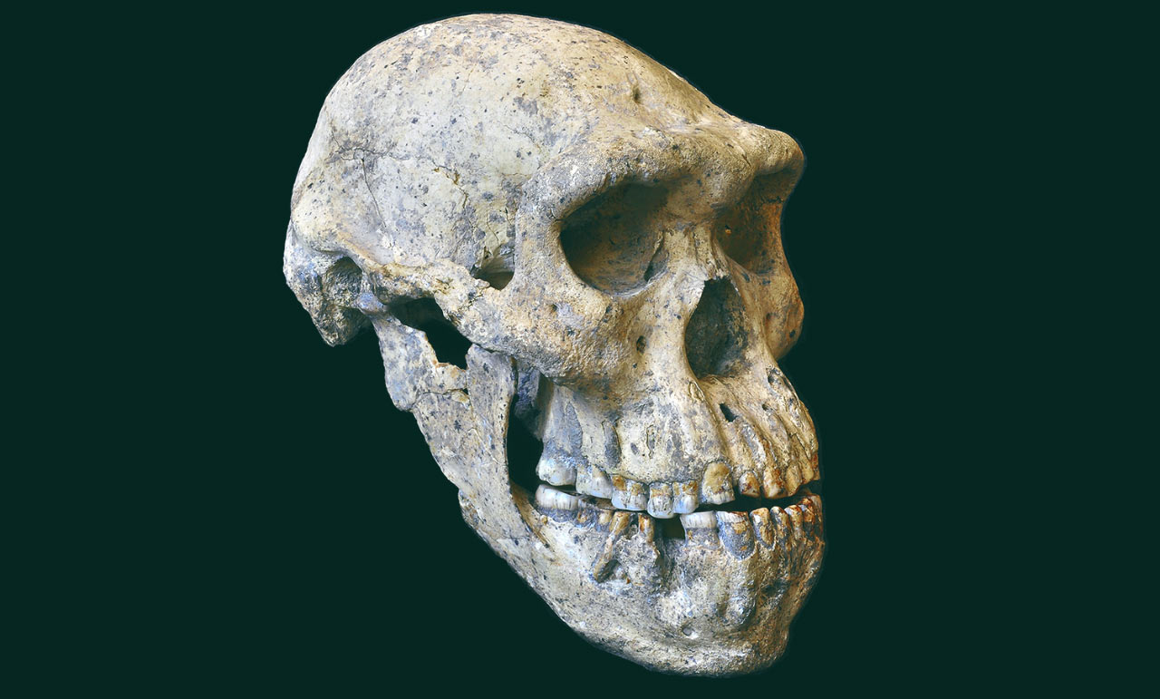 Human Skull Dmanisi Human Skull From Georgia Implies All Early Homo