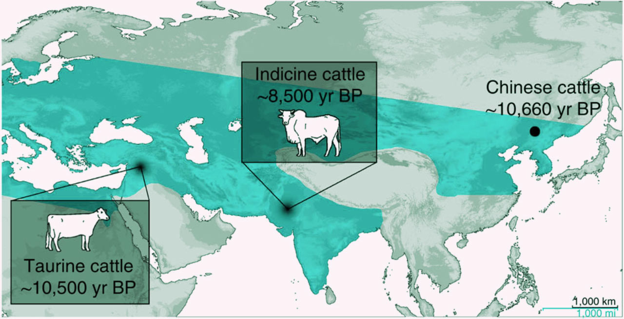 Neolithic Chinese People First Tamed Cattle Over 10 000 Years Ago Archaeology Sci News Com