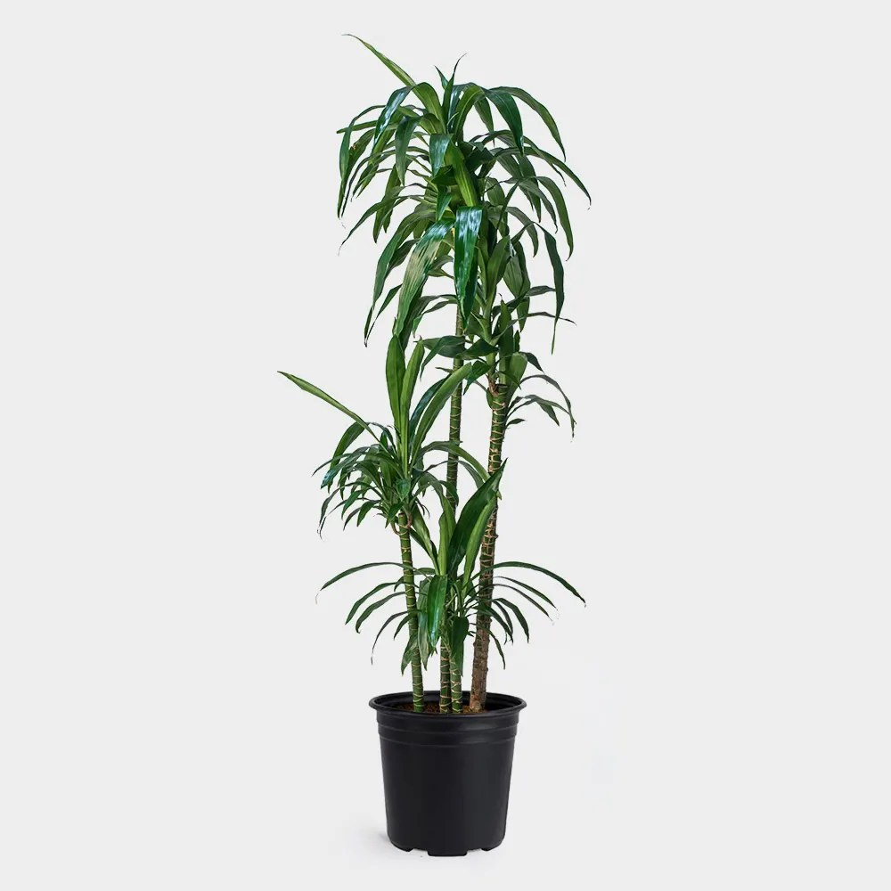 Dracaena Plant Greenery Unlimited Dracaena Lisa Cane Care Guide