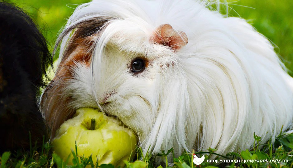 Feeding Guinea Pigs - What\u0027s Good and What\u0027s Not