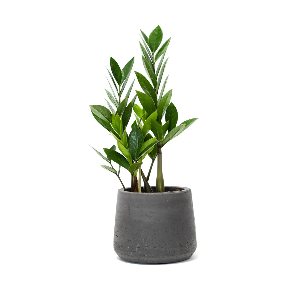 Where To Buy Indoor Plants Online Zz Plant