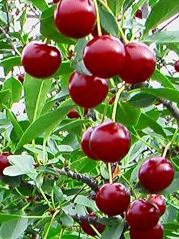 carminejewel2 Carmine Jewel Cherry Tree