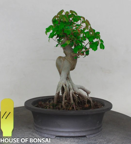 Plants For Japanese Style Garden Trident Maple With Exposed Root Style Shohin Bonsai Tree