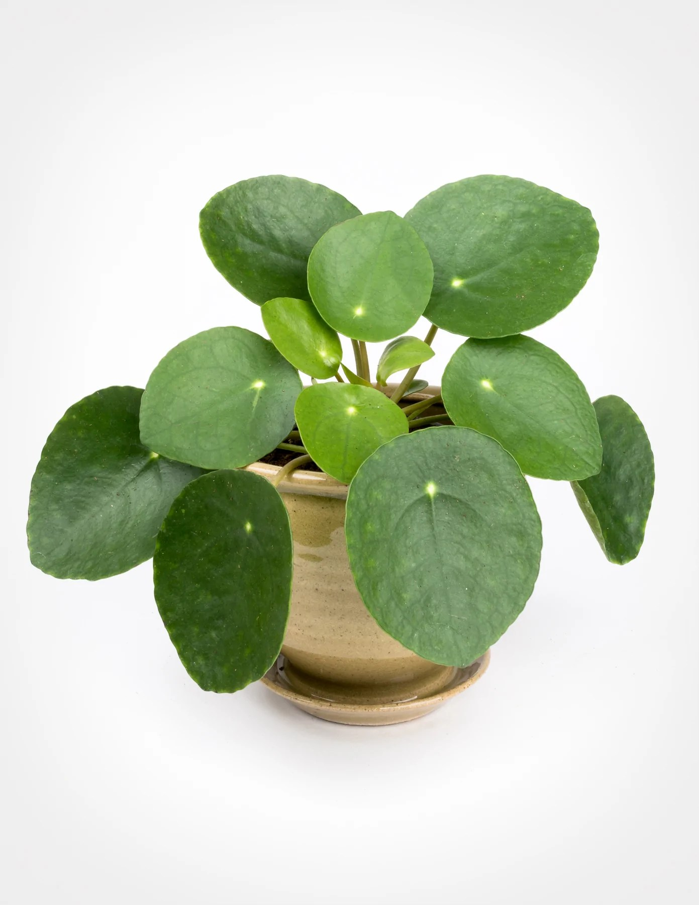 Asian Plants For Sale Pilea Peperomioides Chinese Money Plant