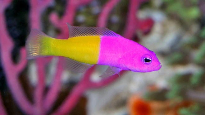 Saltwater fish for sale buy saltwater fish online vivid aquariums