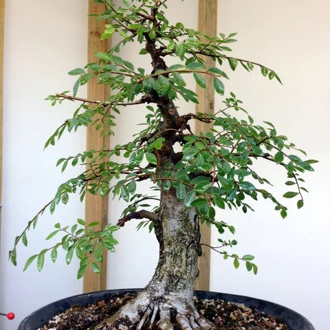 Admirable Wiring My Bonsai Leaves Auto Electrical Wiring Diagram Wiring Digital Resources Sapebecompassionincorg