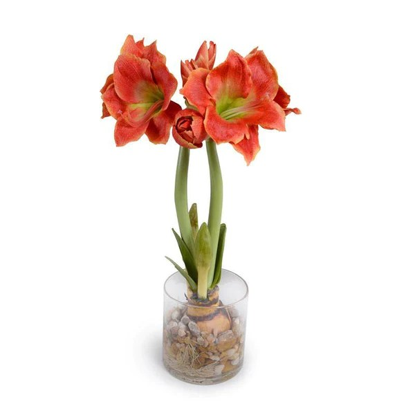 Amaryllis Pflanzen Amaryllis Plant – New Growth Designs