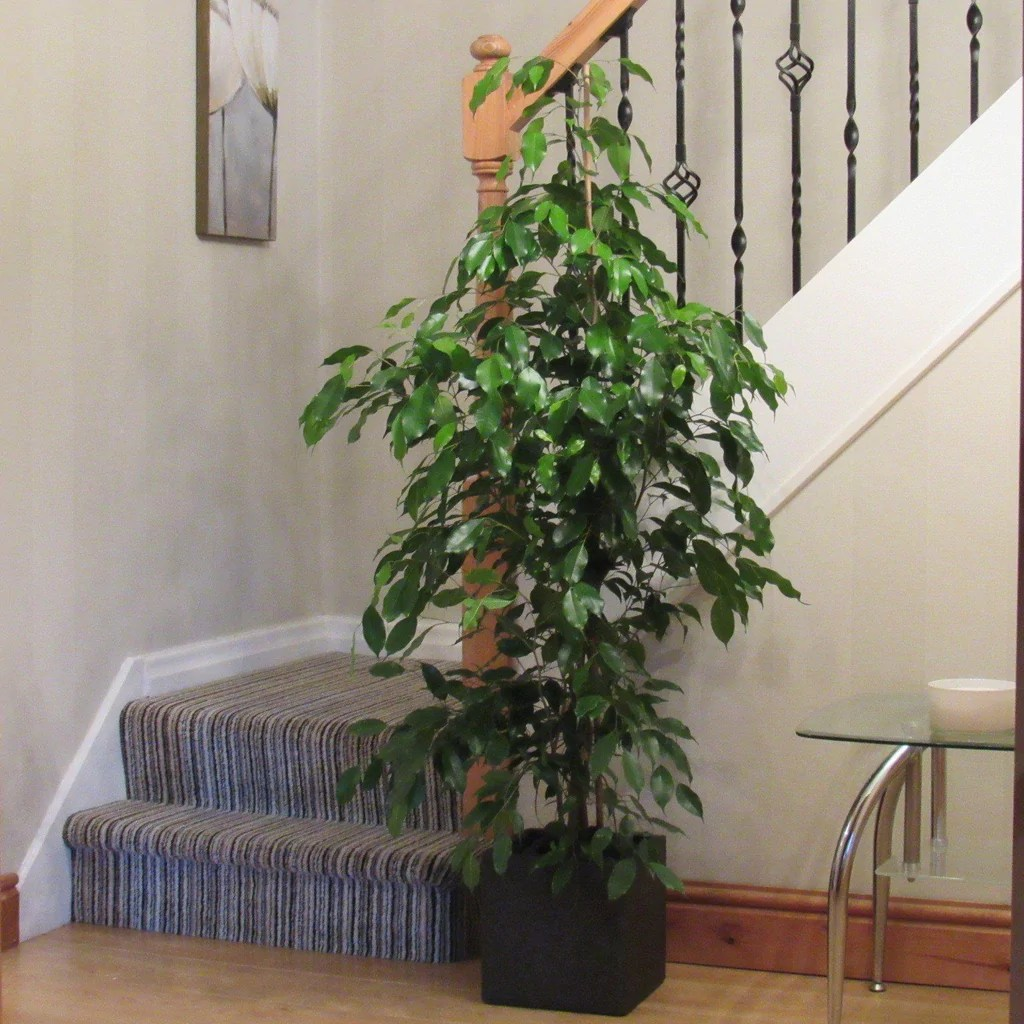 Tall Indoor Plants With Big Leaves Large Stunning Ficus Indoor House Plant Weeping Fig 1