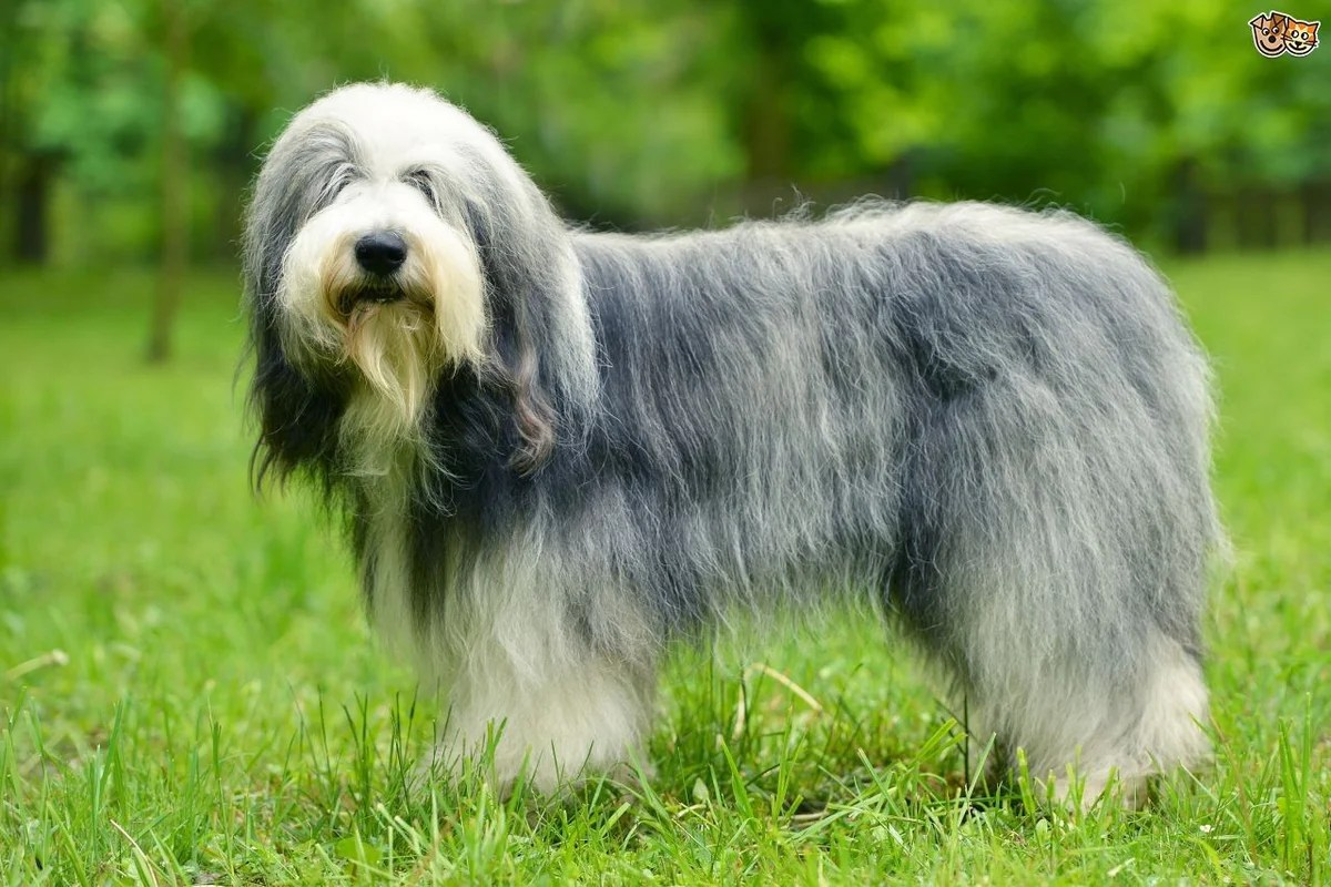 Are Old English Old English Sheepdog Fun Facts And Crate Size Pet Crates Direct
