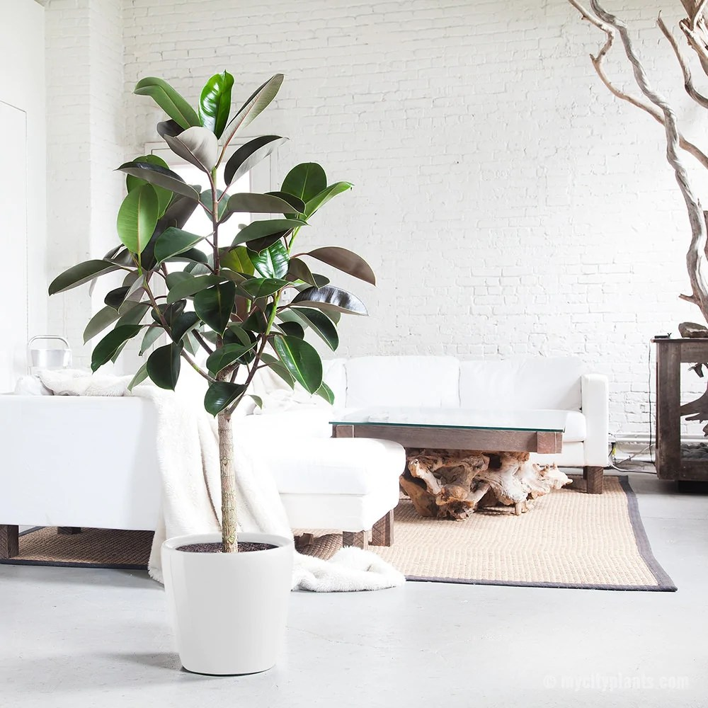 Lechuza Shop Rubber Tree Classico White