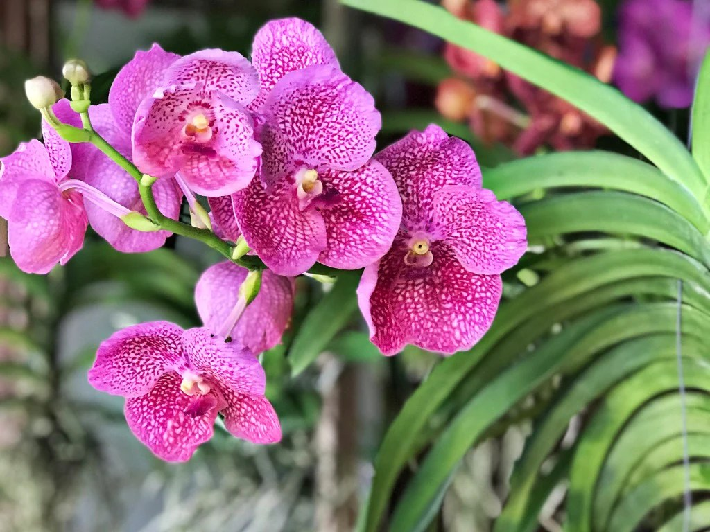 Orchid Care How To Grow Vanda Orchids Orchid Republic