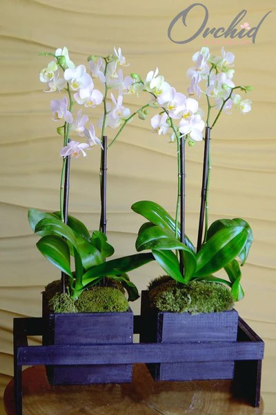 Earth And Air Orchid Plant Arrangements Delivery