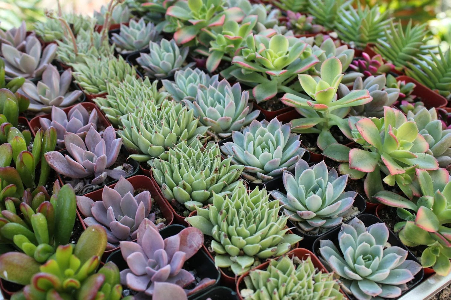 Succulent Planters Wholesale 2 Quot Wedding Succulents Succulents For Sale Bulk Succulent