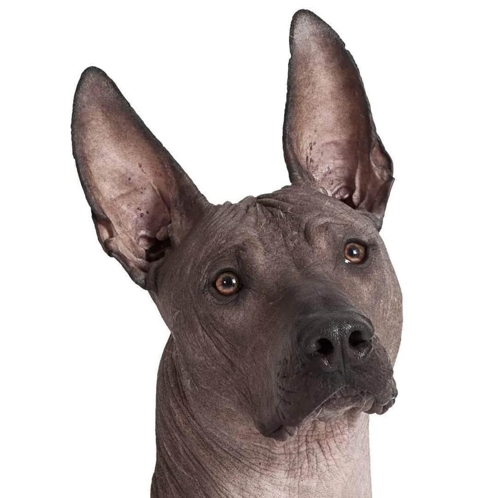Formidable Xoloitzcuintli Shop By Dog Breed Your Blissful Health Care Large Mexican Dog Breeds Mexican Dog Breeds List bark post Mexican Dog Breeds