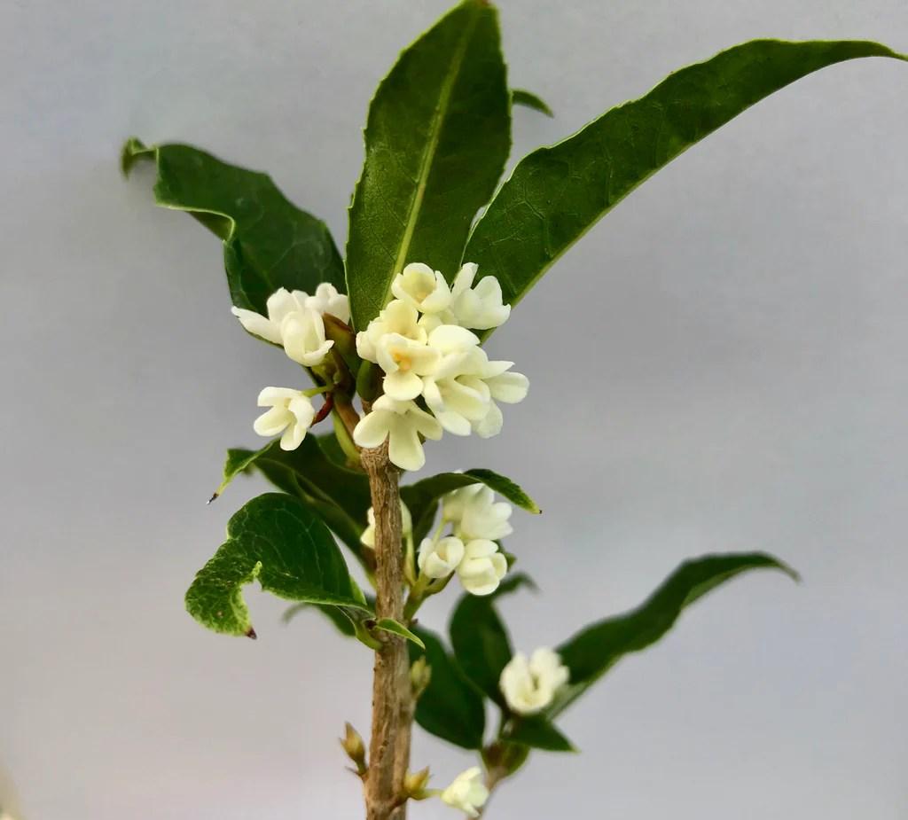 Fullsize Of Fragrant Tea Olive