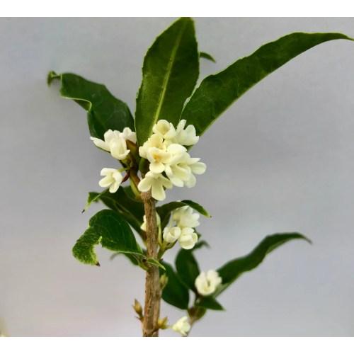 Medium Crop Of Fragrant Tea Olive