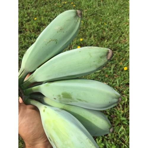 Medium Crop Of Blue Java Banana